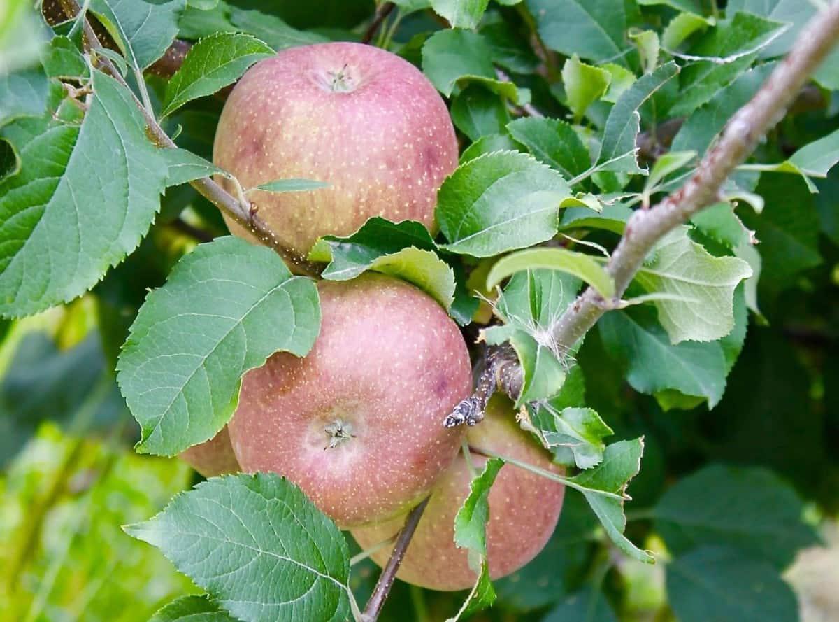 apple edited