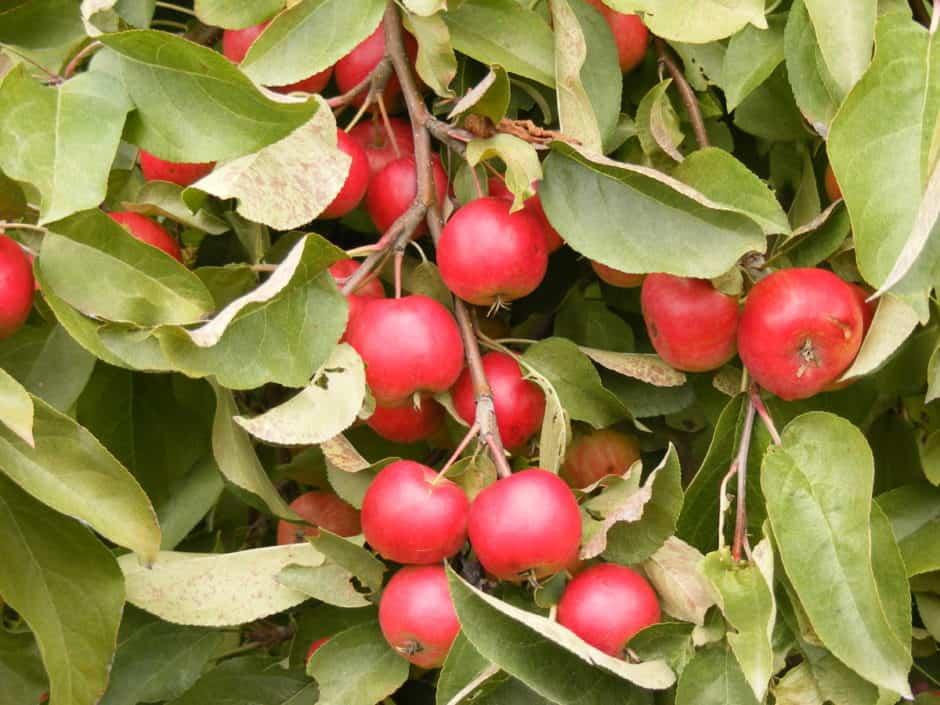 Wickson apple