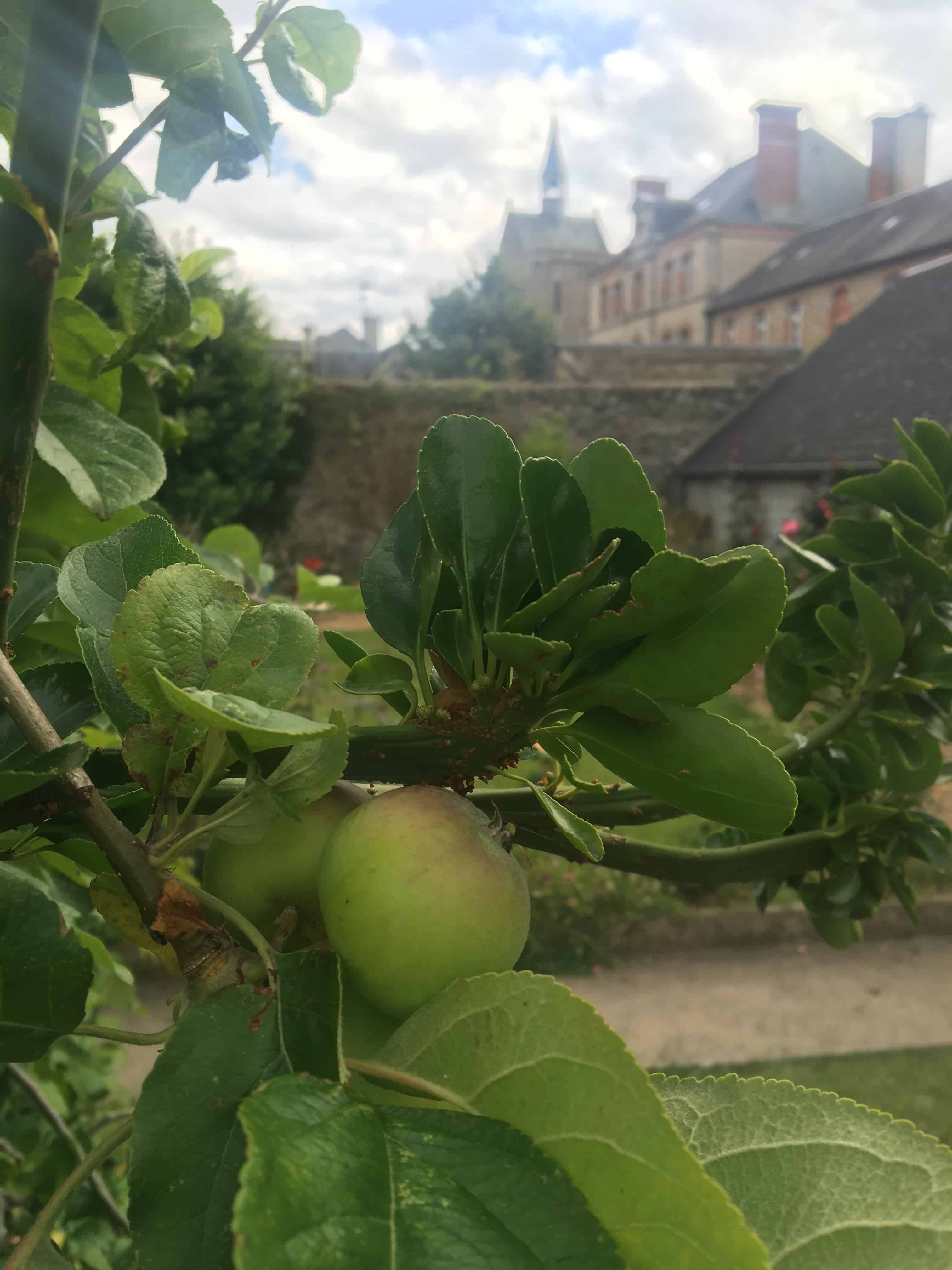 Normandy apple tree