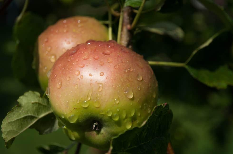 Apples SkitterPhoto