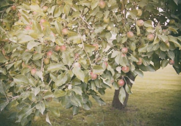 Photo credit: Barn Images; Tags: apples, apples on tree