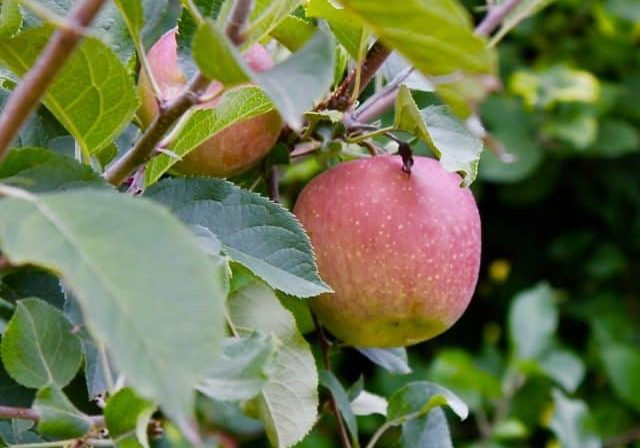 Credit: Mary Bigham Tags: apples, trees, orchard, cider