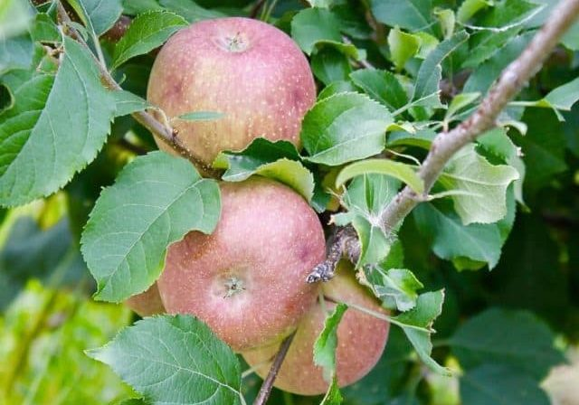 Credit: Mary Bigham Tags: apples, red apples, apple orchard, apple tree, cider, hard cider
